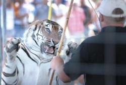Rosaire Taunting Tiger with Baton