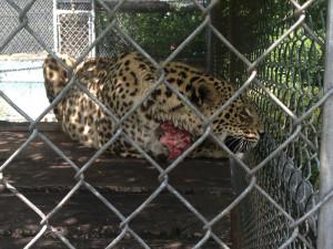 Leopard-Leg-Mauled-3
