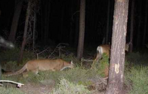 Cougar Stalking Deer