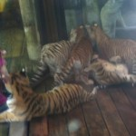 DocAntleBhagavanAntleTIGERSPreservationStationPettingCubs