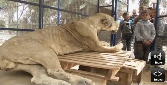 Dead lion on display at Gaza Zoo