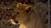 Lion Cub Father