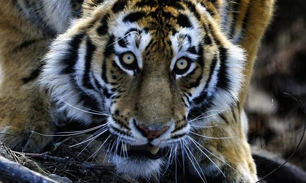 Tiger Detroit Escape