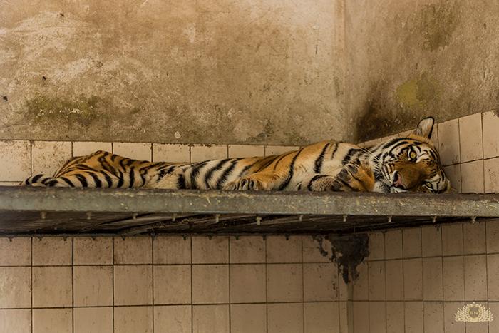 Karachi Zoo Abuse Tiger