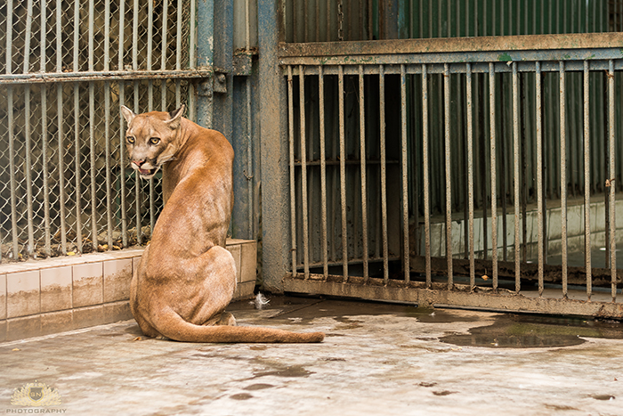Karachi Zoo Abuse Cougar
