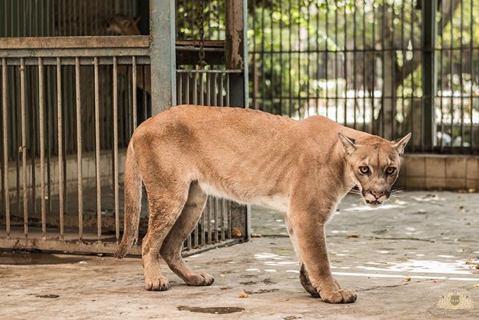 Karachi Zoo Abuse Puma