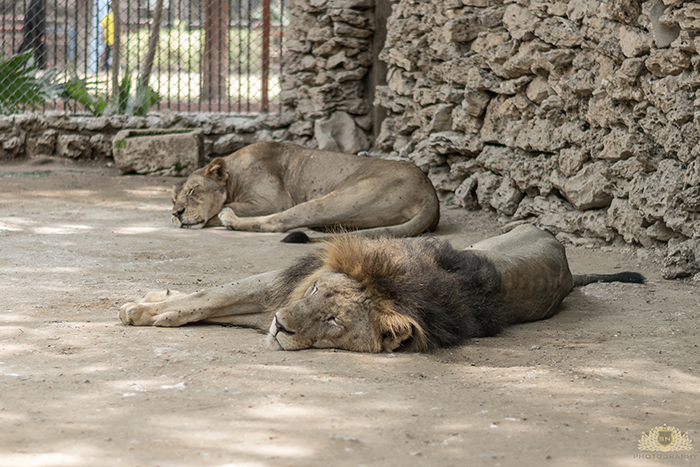 Karachi Zoo Abuse Lion