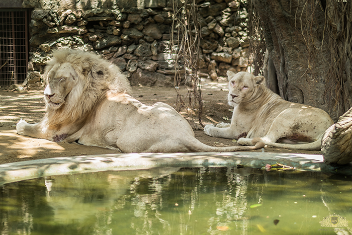 Karachi Zoo Abuse White Lions