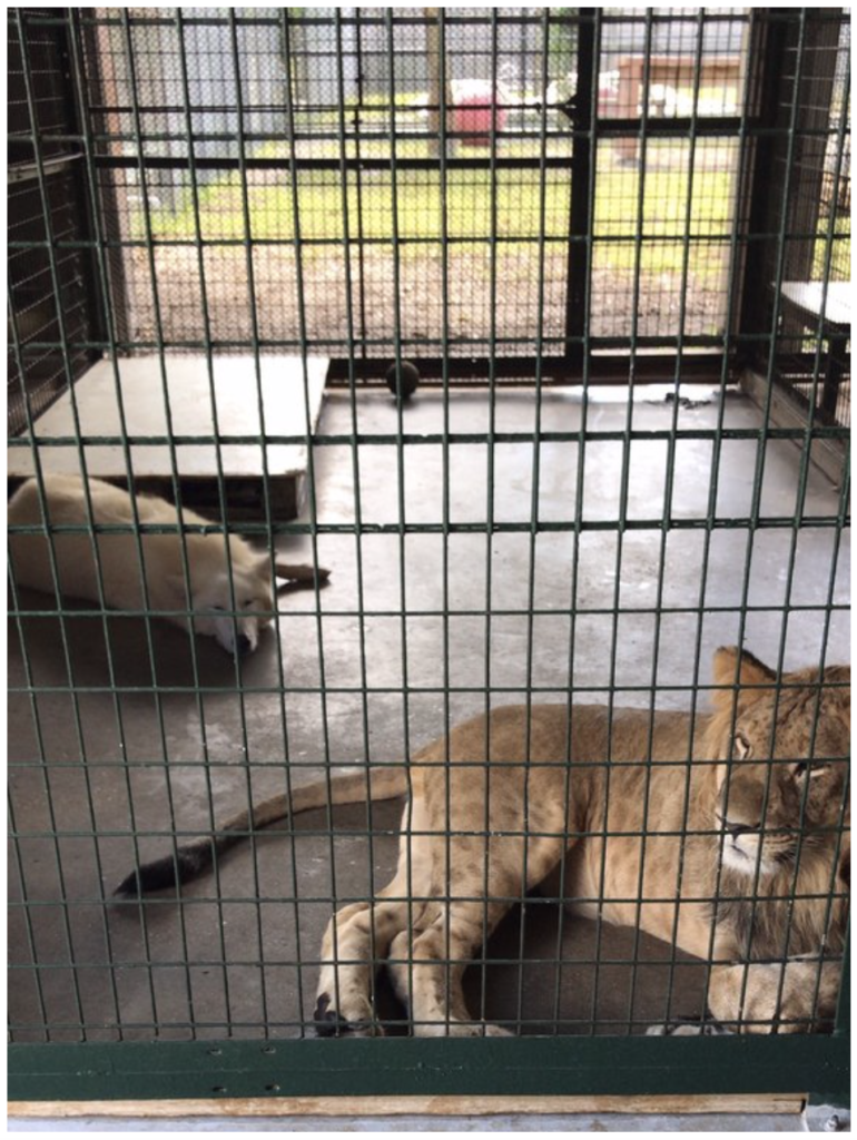 Big-Cat-Habitat-Gulf-Coast-Sanctuary-Kay-Clayton-Rosaire-030