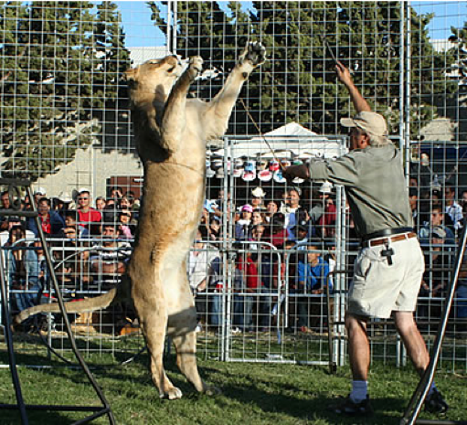 "Lionesses were made to ""dance"" and jump on platforms to ""demonstrate the lion's agility."""