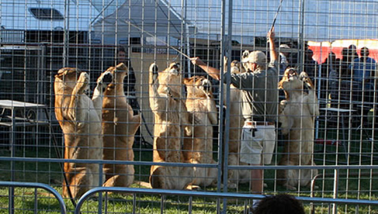 """This trick was explained as """"a demonstration of lioness teamwork."""""""