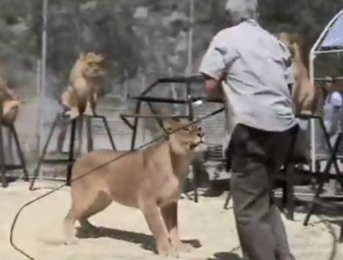 "Unhappy lionesses refusing to perform are nudged with pointed sticks and cracking whips, as shown in a promotional video for the show. Ironically, McMillan's voiceover during this footage explains how his lions ""love to perform."""