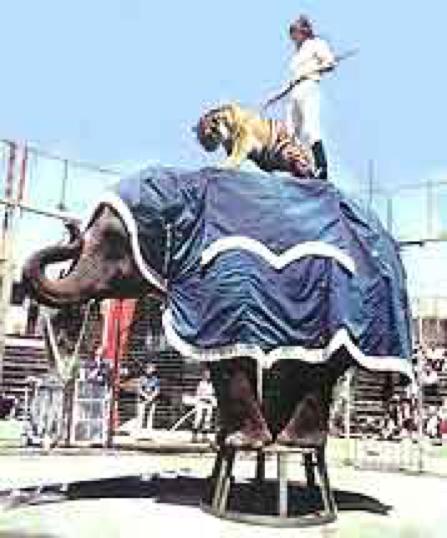 Brian McMillan Tiger Elephant