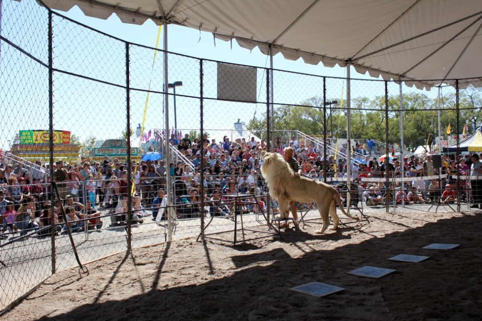 Lufuno, McMillan's prized white lion, during a fairground performance.
