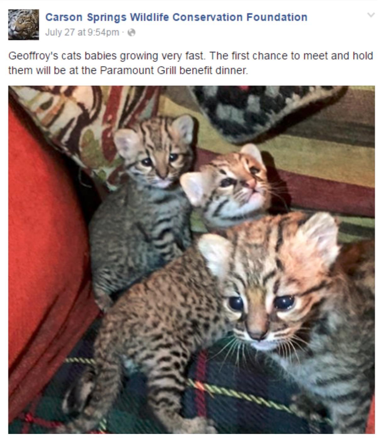 Carson Springs Geoffroy Kittens Restaurant
