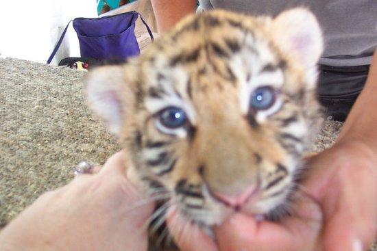 Cherokee Bear Zoo Exploiting Tiger Cubs