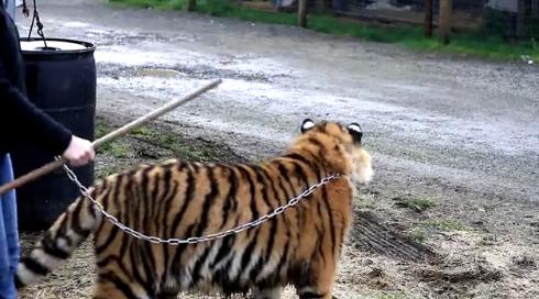 Cheryl Jones walking tiger A Walk On The Wild Side