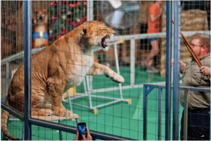 Circus Rosaire Tormenting Liger