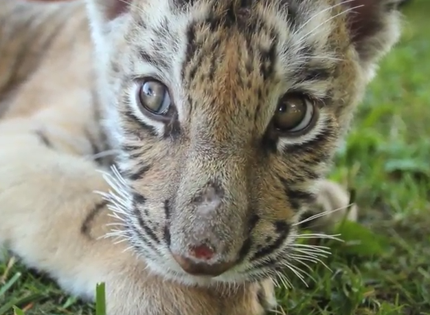 Cub with open sore A Walk On The Wild Side
