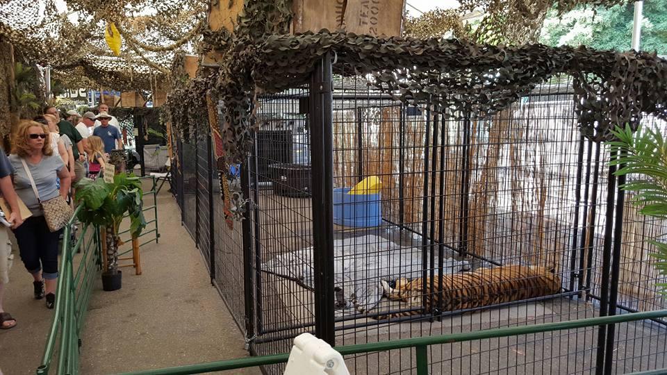 Fairground tiger exhibit A Walk On The Wild Side