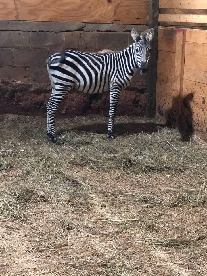 Frazier-Farms zebra pets