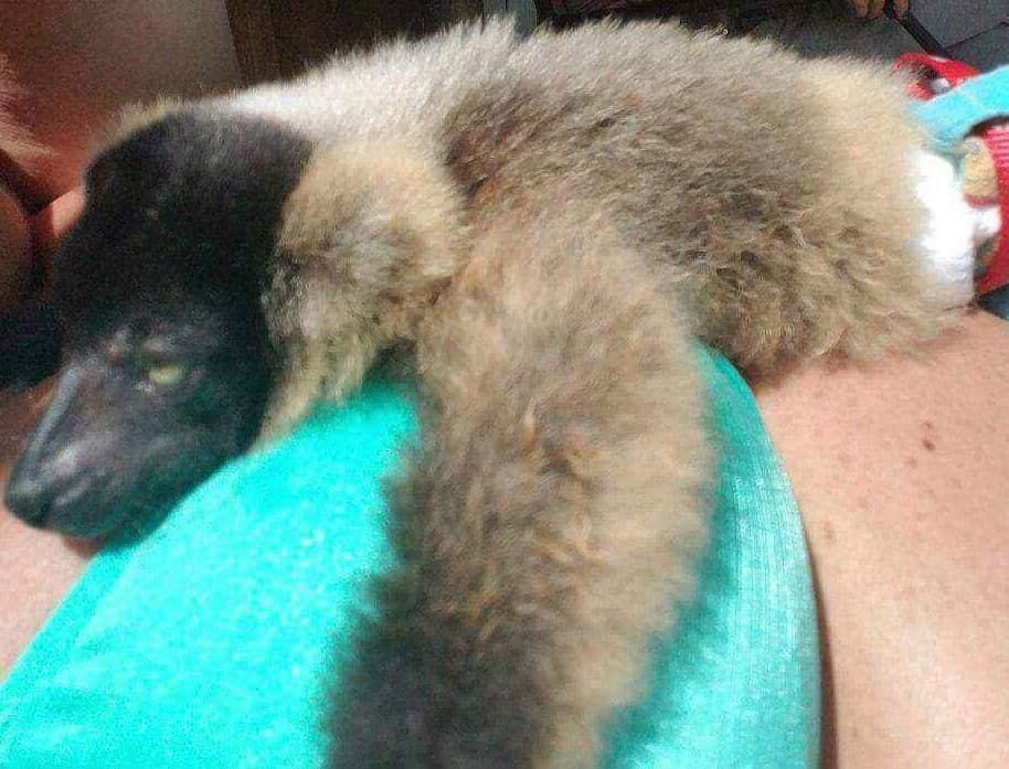 Frazier-Farms white ruffed lemur pets