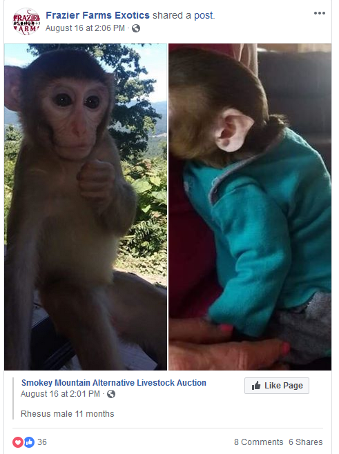 Frazier-Farms Rhesus monkey baby for sale