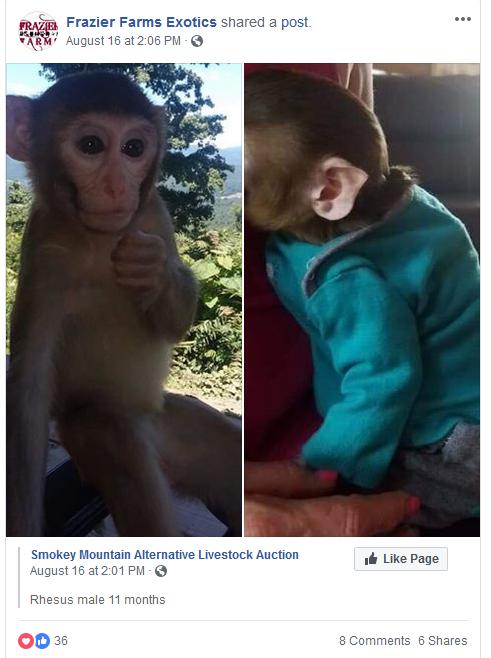 Frazier-Farms Rhesus monkey baby for sale