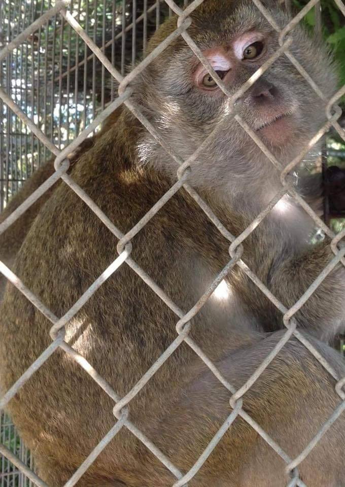 Frazier-Farms Rhesus monkey for sale