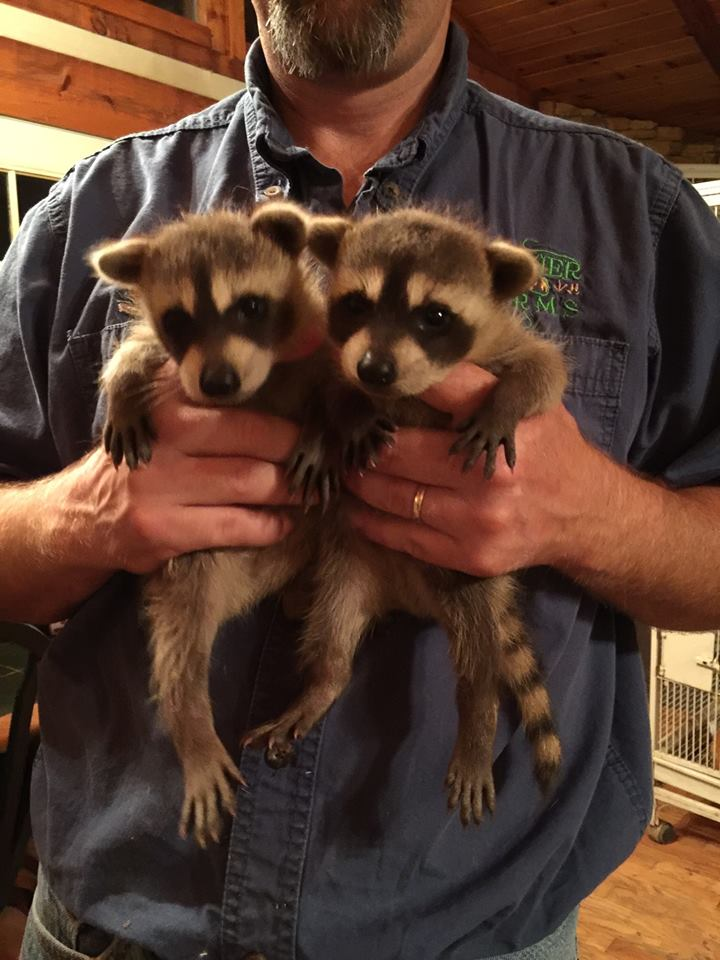 Frazier-Farms baby raccoons for sale