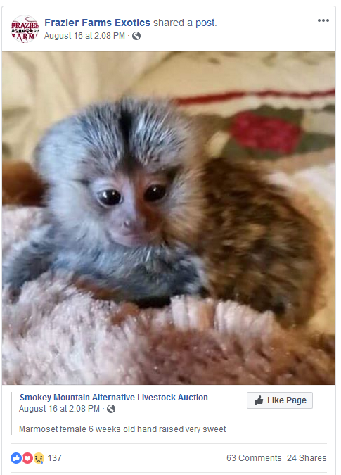 Frazier-Farms baby marmoset for sale