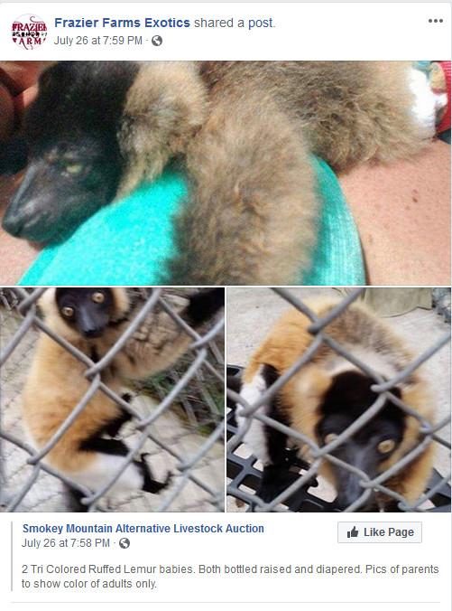 Frazier-Farms tri color ruffed lemurs for sale