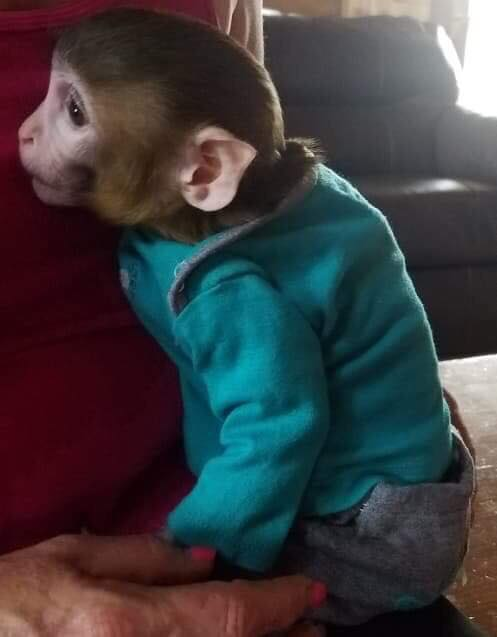 Frazier-Farms baby monkey for sale