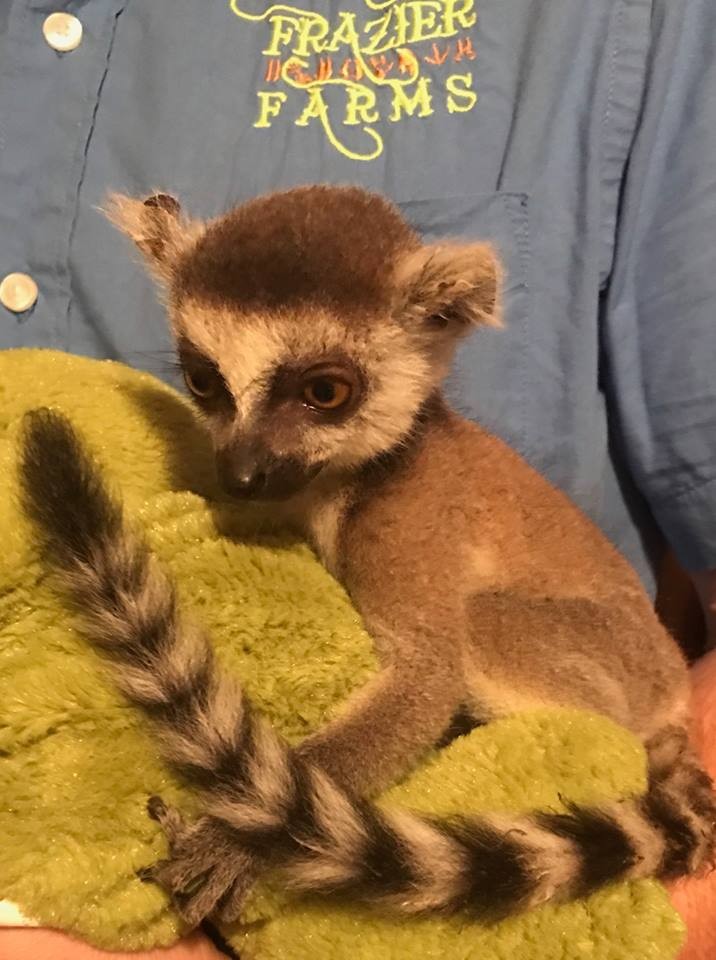 Frazier-Farms baby ringtail lemur for sale