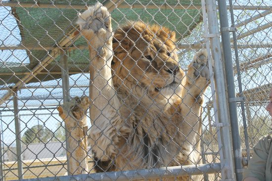 Hesperia-Zoo-abuse-lion