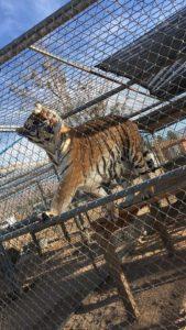 Hesperia-Zoo-abuse-tiger-0