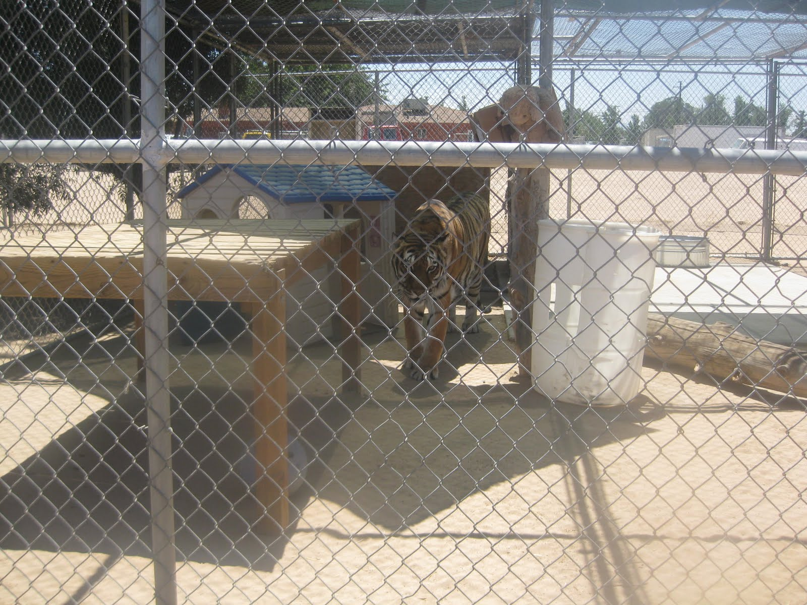 Hesperia-Zoo-abuse-tiger-2