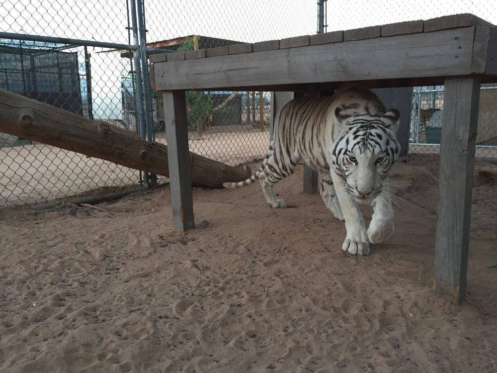 Hesperia-Zoo-abuse-tiger
