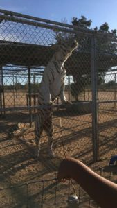 Hesperia-Zoo-abuse-white-tiger