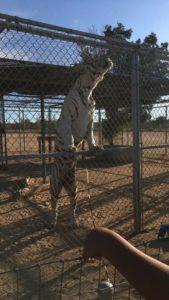 Hesperia-Zoo-abuse-white-tiger