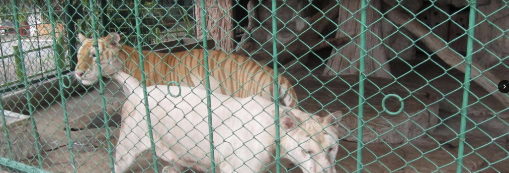 White tiger Kevin Bhagavan doc Antle Rare Species Fund