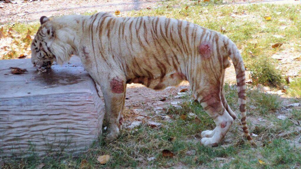 White tiger Kevin Bhagavan doc Antle Rare Species Fund