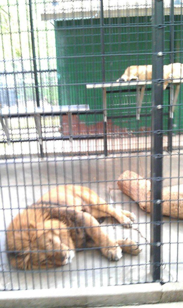 lagoon-park-abuse-lions-2