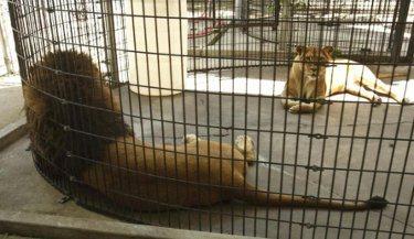 lagoon-park-abuse-lions
