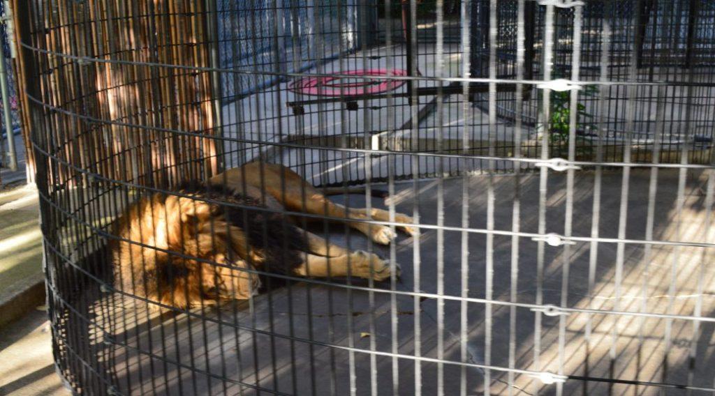 lagoon-park-abuse-sad-lion
