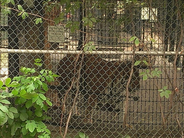 lagoon-park-abuse-tiger2