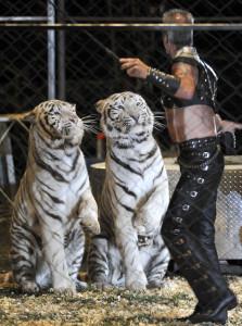 Nergers Splendid Tigers