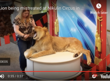 Nikulin Moscow Circus Russia gagging lion cub