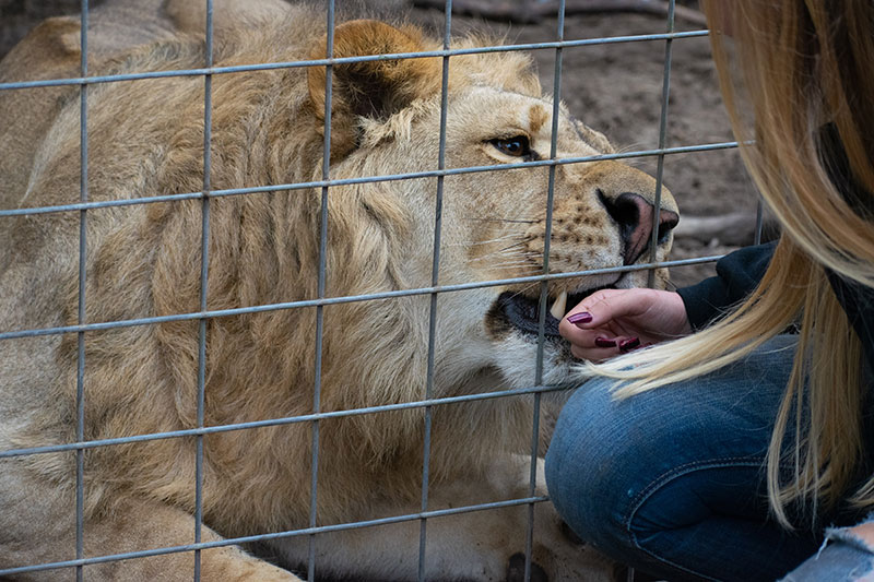 Single-Vision-Carl-Bovard-Lion-Licks-Visitor