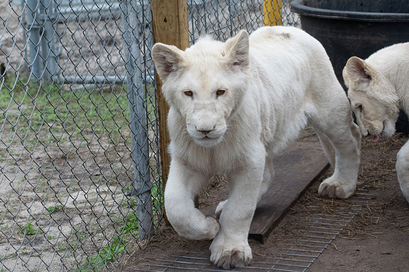 Single-Vision-Carl-Bovard-White-Lion-Cubs
